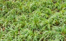 Globe Fringe Rush ,Grass-Like Fimbristylis, Hoorah Grass Stock Photo