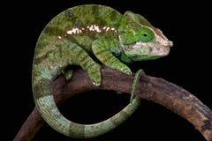 Globe-horned chameleon (Calumma globifer) Stock Photo