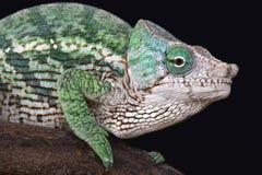 Globe-horned chameleon (Calumma globifer) Royalty Free Stock Photo