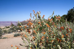 Globe Mallow, Malvaceae royalty free stock image