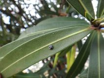 Globe-marked lady beetle in oleander plant Royalty Free Stock Image