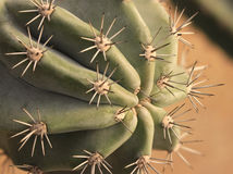 Globe shaped cactus with long thorns Stock Photo