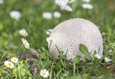 Globe Shaped Wild Mushroom Royalty Free Stock Photo