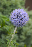 Globe Thistle. Spikey Blue Ball Flower Head from a Globe Thistle - 'Echinops bannaticus Blue Globe royalty free stock photo