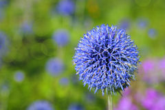 Globe Thistle Royalty Free Stock Image