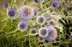 Globe thistle Royalty Free Stock Photos