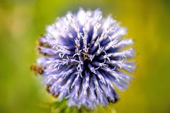 Globe thistle with bees. And green background royalty free stock photos