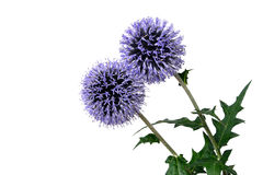 Globe thistle - Echinops banaticus, isolated Royalty Free Stock Photo