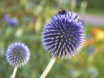 Globe thistle (Echinops ritro) flower. A beautiful unusual flower of a globe thistle or Echinops ritro with a bee on top stock images