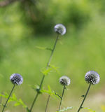 Globe Thistle Family or Echinops Flowers Stock Photo