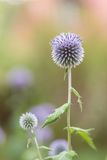 Globe Thistle Royalty Free Stock Images