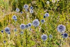 Globe Thistle flower Royalty Free Stock Image
