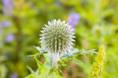 Globe Thistle green Royalty Free Stock Images