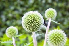 Globe Thistle green Royalty Free Stock Image