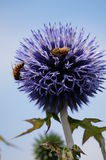 Globe thistle pollination. A pair of bees pollinates this Globe thistle in the summer sun Royalty Free Stock Photos