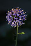 Globe Thistle Royalty Free Stock Photography