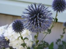 Globe Thistles close up Stock Images