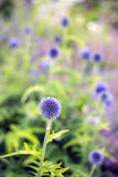 Globe thistles. In a garden border with the path in cornwall England uk stock photos