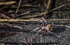 Globe Weaver Spider Image libre de droits