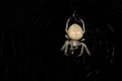 Globe Weaver Spider Photo stock