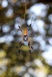 Globe Weaver Spider Images stock