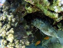 Globefish Стоковые Фотографии RF