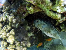 Globefish Fotos de Stock Royalty Free