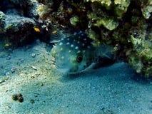 Globefish Стоковое Изображение