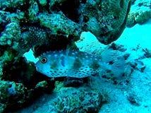 Globefish Foto de Stock