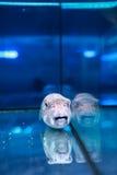 Globefish Stock Photography