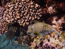 Globefish chuje w koralu Obrazy Royalty Free