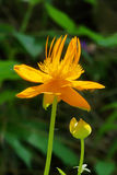 Globeflower. Trollius chinensis, a plant of the family Ranunculaceae. Common name: Globe-flower Royalty Free Stock Photo