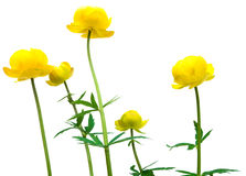 Globeflower Royalty-vrije Stock Foto