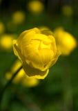 Globeflower Lizenzfreie Stockfotografie