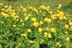 Globeflower Stock Photos