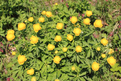 Globeflower Royalty Free Stock Photos
