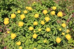 Globeflower Royalty Free Stock Photos