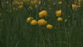 Globeflower. stock video