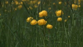 Globeflower. απόθεμα βίντεο