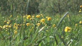 Globeflower. arkivfilmer