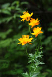 Globeflower. Trollius chinensis, a plant of the family Ranunculaceae. Common name: Globe-flower Royalty Free Stock Images