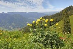 Globeflower alpino nel paesaggio montagnoso, Baviera Fotografie Stock