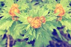 Globeflower anaranjado con las hojas del verde teñidas violetas Foto de archivo libre de regalías