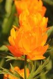 Globeflower. Bloem. Stock Afbeeldingen