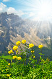 Globeflower blooms on meadow Stock Photography