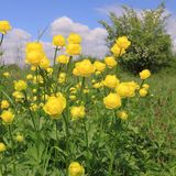 Globeflower Stock Photography