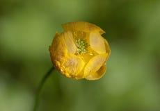 Globeflower close up Royalty Free Stock Image