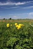 Globeflower em Poland Imagens de Stock