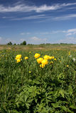 Globeflower en Pologne Images stock