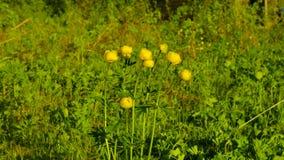 Globeflower - europaeus Λ Trollius φιλμ μικρού μήκους